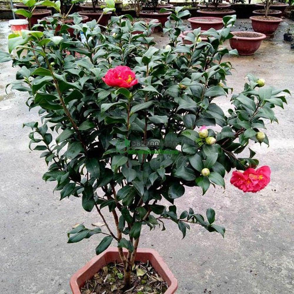 Cách chăm sóc cây hoa trà cho đẹp