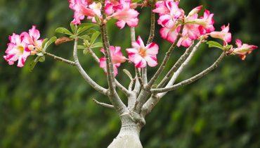 cách ghép hoa sứ thái lan