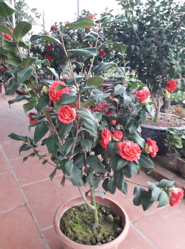 thay đất chậu trồng cây hoa trà