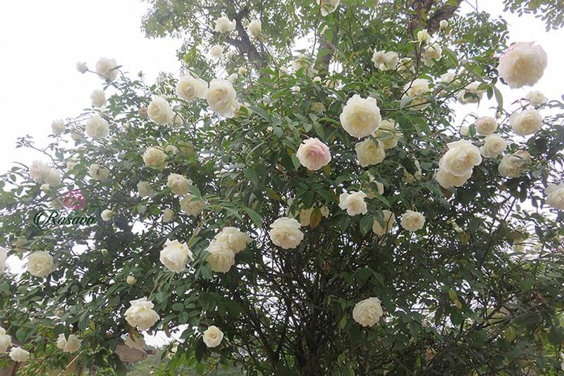 hoa hồng bạch xếp Nam Định