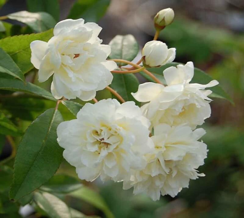 Hoa hồng Banksiae