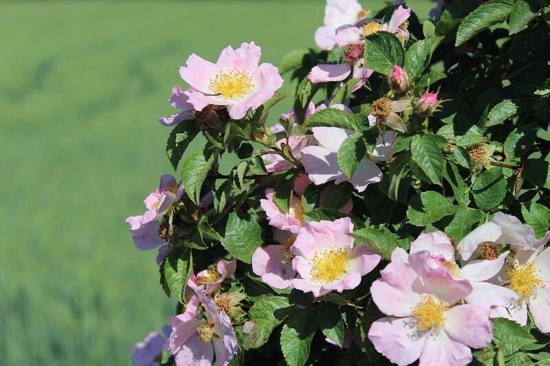 Hoa hồng Carolina