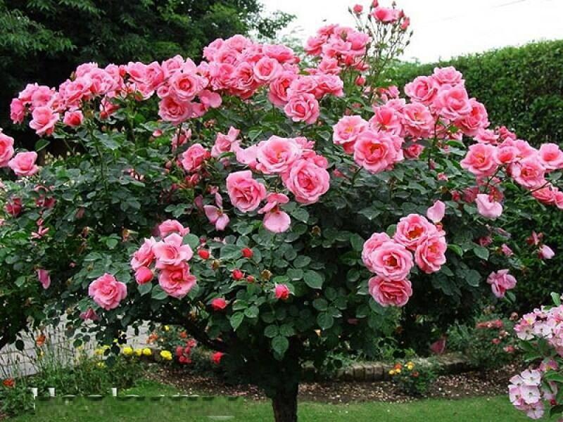 Hoa hồng cổ Sapa