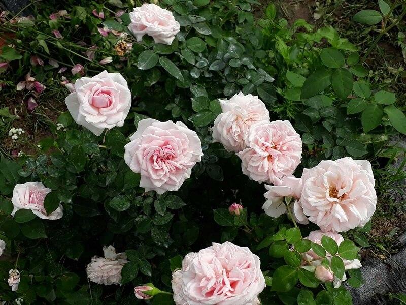 Hoa hồng cổ Văn Khôi
