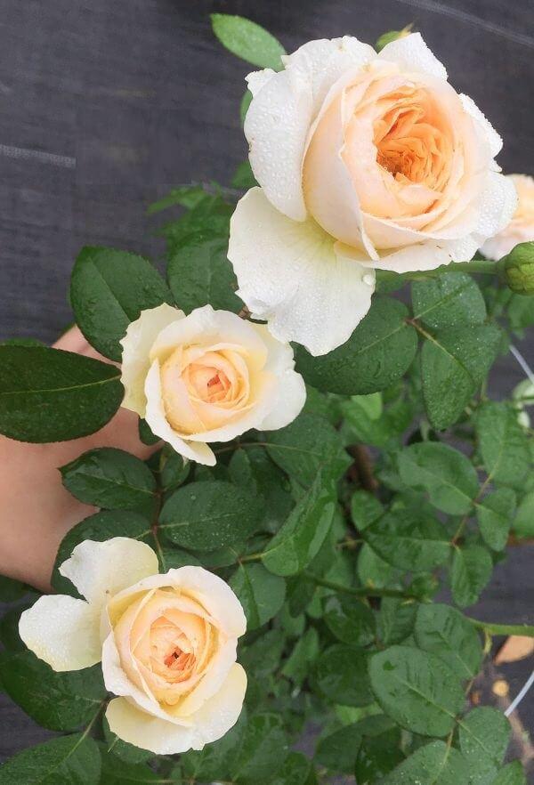 Hoa hồng Juliet