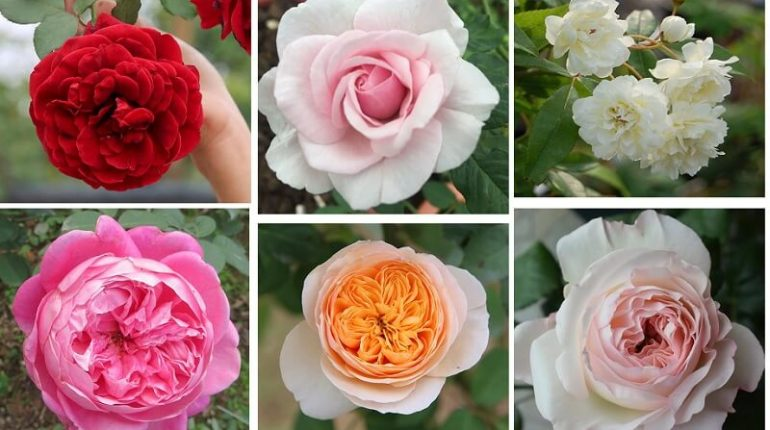 Tên các loại hoa hồng ở Việt Nam và trên thế giới