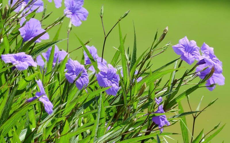 cách chăm sóc hoa chiều tím