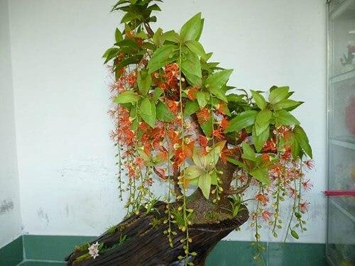 Cách trồng cây lộc vừng trong chậu