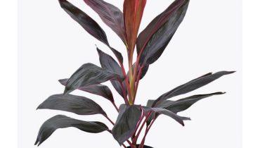 đặc điểm cây huyết dụ