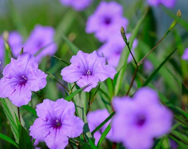 Hoa chiều tím có độc không