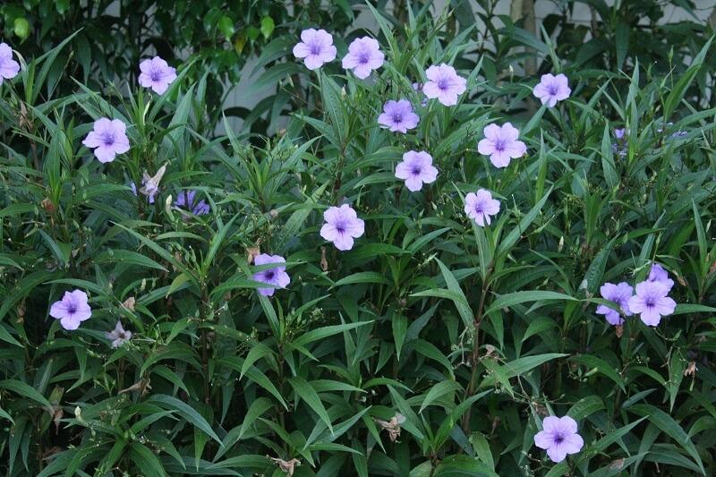 Hoa chiều tím là hoa gì