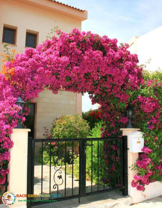 ý nghĩa cây hoa giấy ở cổng chính