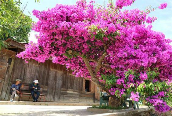 ý nghĩa cây hoa giấy ở trước sân nhà