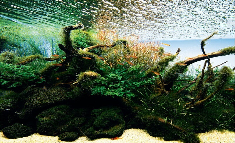 rêu bèo trong hồ thủy sinh