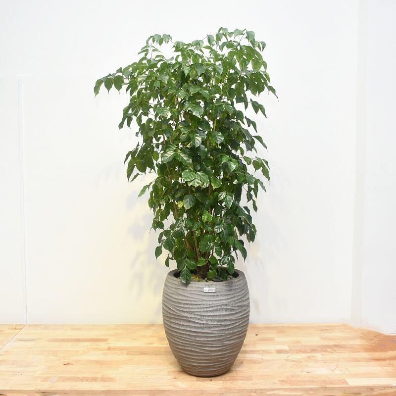 cây hạnh phúc trồng trong nhà