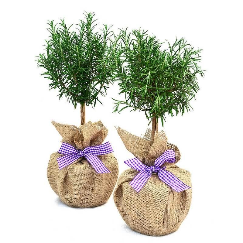 cây hương thảo trồng trong nhà được không