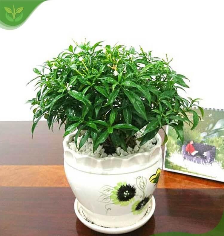 cây mai vạn phúc trồng trong nhà được không
