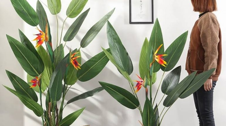 cây thiên điểu trồng trong nhà