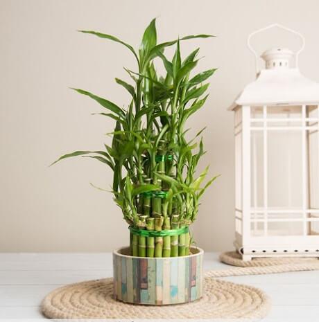 cây trúc trồng trong nhà phù hợp
