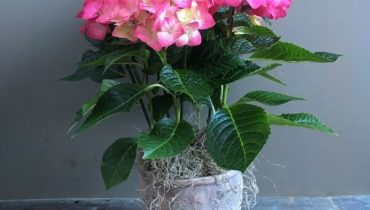 có nên trồng cây cẩm tú cầu trong nhà