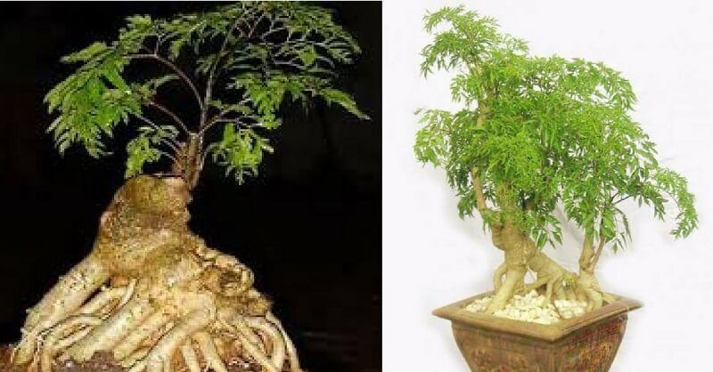 trồng cây đinh lăng trong nhà