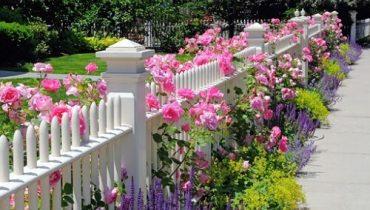 cây hoa leo hàng rào đẹp