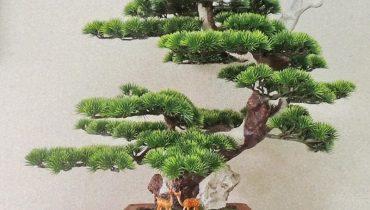 cây tùng la hán để trong nhà được không
