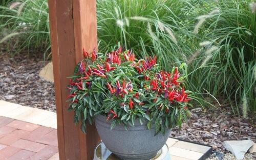 có nên trồng cây ớt trước nhà