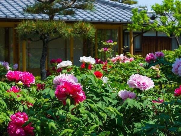 có nên trồng hoa mẫu đơn trước nhà
