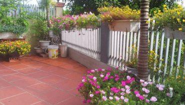có nên trồng hoa mười giờ trước nhà