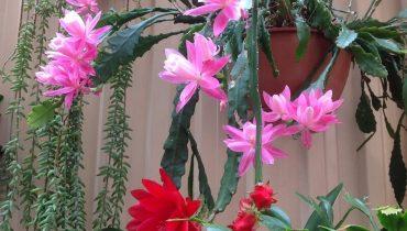 có nên trồng hoa quỳnh trong nhà