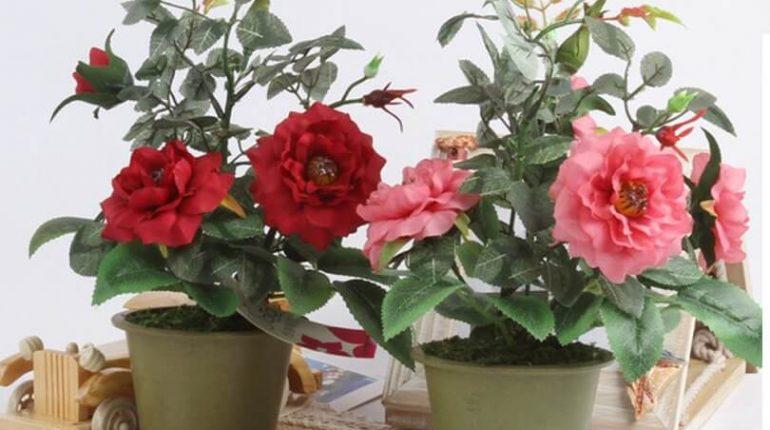 hoa hồng trồng trong nhà được không