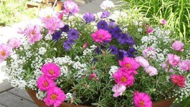 hoa mười giờ trồng trong nhà được không