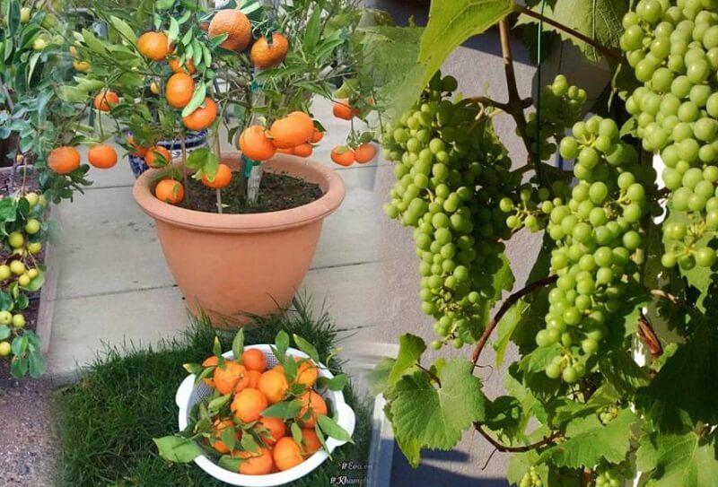 nên trồng cây ăn quả gì trong vườn nhà