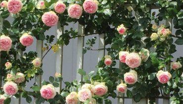 nên trồng hoa hồng gì ở ban công