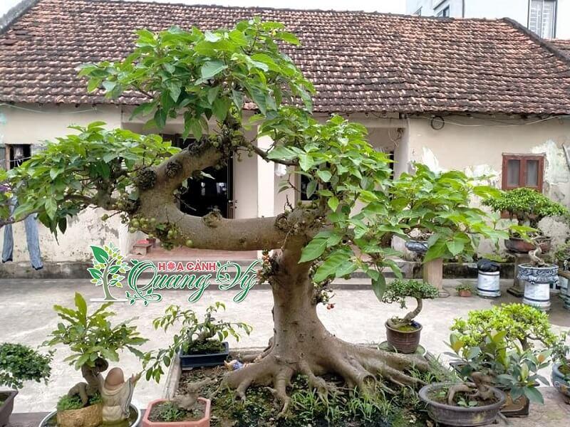 trồng cây sung trước nhà có tốt không