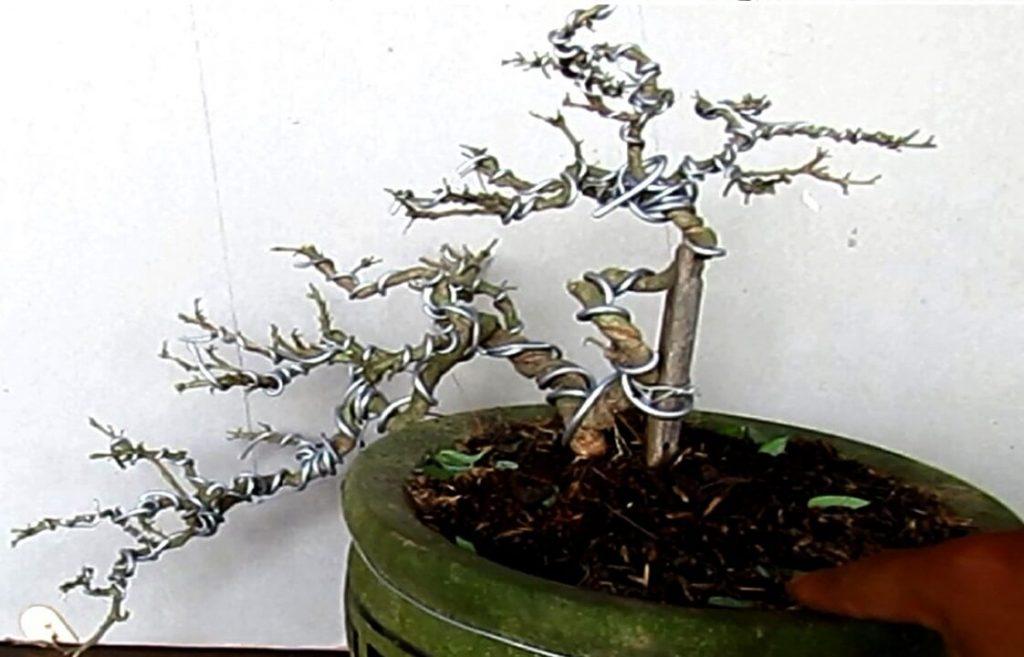 Chi tiết】Cách tạo dáng cây sung cảnh đơn giản - Mẫu tham khảo