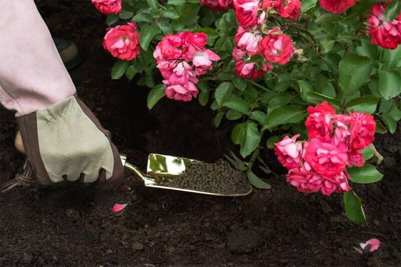 bón phân cho hoa hồng