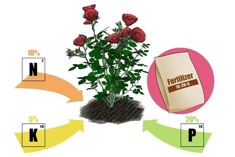 bón phân hoa hồng