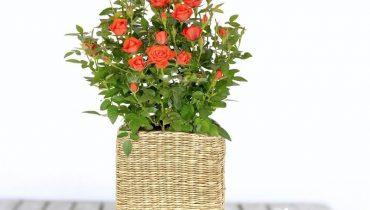 cách chăm sóc hoa hồng tỉ muội