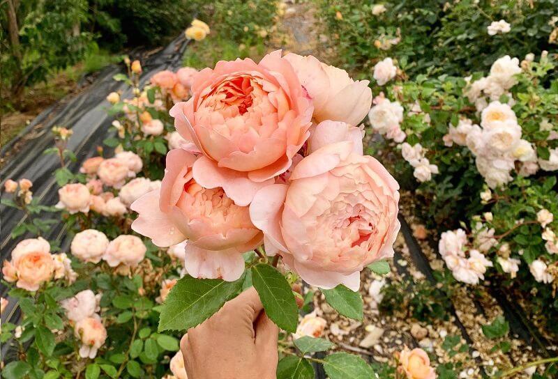 cách làm cho hoa hồng nở to