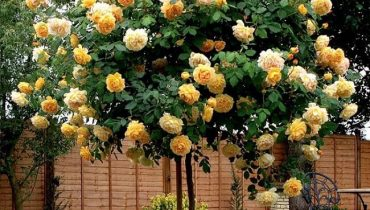 Cách làm hoa hồng ra nhiều nhánh