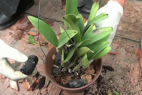 trồng lan dendro vào chậu