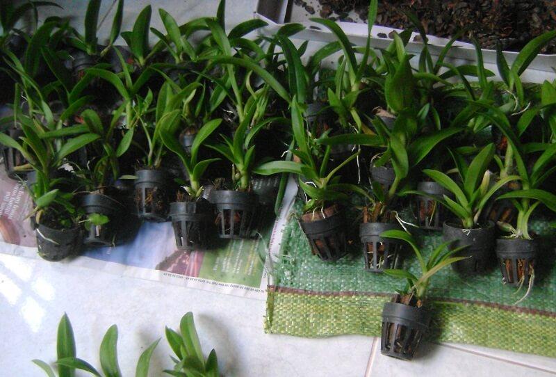 trồng lan dendro