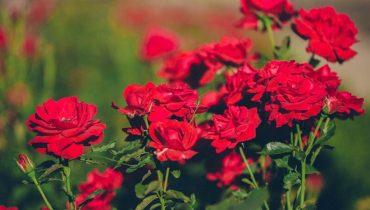 Các loại hoa hồng Đà Lạt