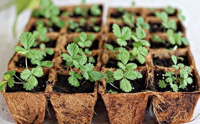 cách trồng dâu tây bằng hạt