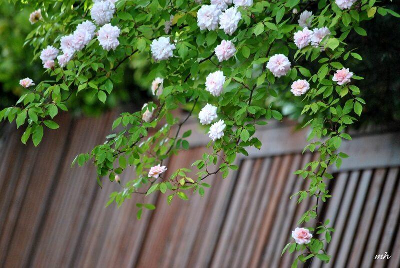cách trồng hoa hồng leo tường vi