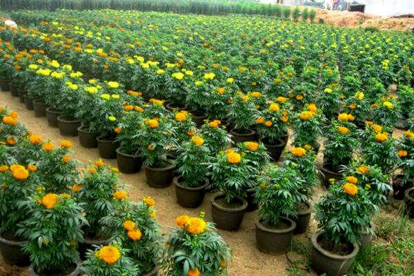 cách trồng hoa vạn thọ trong chậu