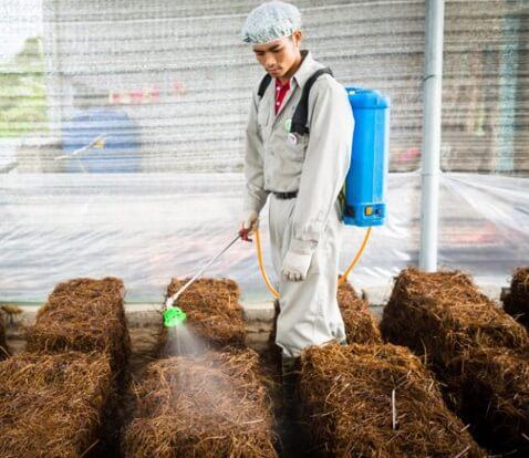 cách trồng nấm rơm đơn giản tại nhà