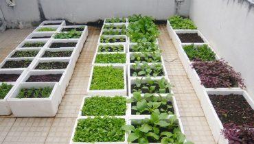 cách trồng rau xà lách